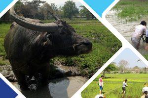 C5-水牛を使った田植え体験とタイ農家見学  08;00-12;00